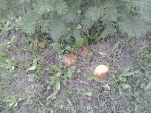 Грибы, ягоды  - Фото0269.jpg